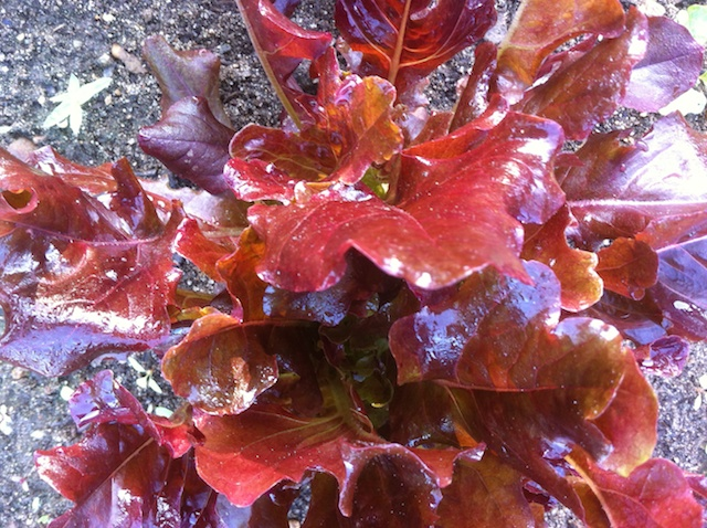 oak-leaf-lettuce-042